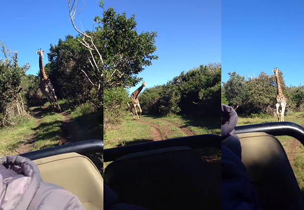 Giraffic Park: When Photographing on a Safari, Beware the Hormonal Giraffes grafficpark