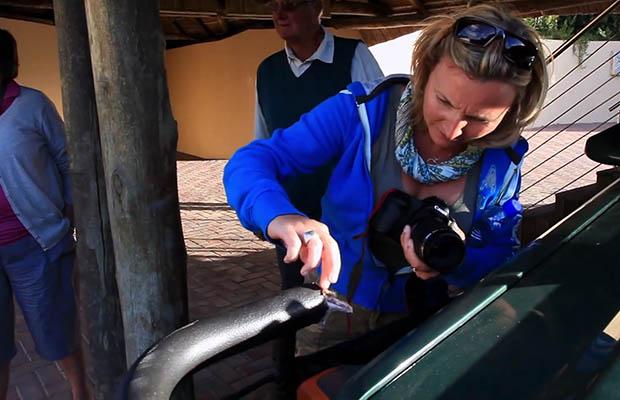 Giraffic Park: When Photographing on a Safari, Beware the Hormonal Giraffes inspecting